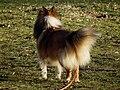 Shetland Sheepdog von hinten.JPG