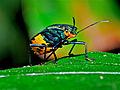 Shield-backed Bug (Scutelleridae) (17651013493).jpg