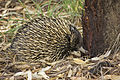 Short-beaked echidna (Tachyglossus aculeatus), photographed in Wilks Park Wildlife Restoration Area.jpg