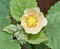 Sida cordifolia (Bala) in Hyderabad, AP W IMG 9420.jpg