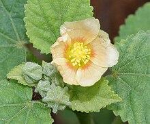 220px-Sida_cordifolia_%28Bala%29_in_Hyderabad%2C_AP_W_IMG_9420.jpg