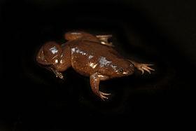Silurana epitropicalis - Cameroon Clawed frog3.jpg