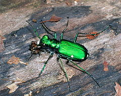 Six-spotted tiger beetle crop.jpg