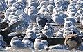 Slaty-bcked Gull (Larus schistisagus) (32306287670).jpg
