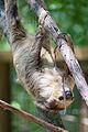 Sloth Climbing (20620900712).jpg