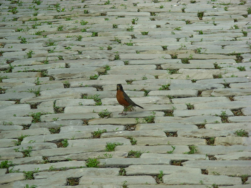 File:Small bird on a pavement.JPG