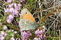 Small heath (NH) (8120450792).jpg