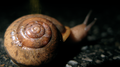 Snail in the road, shell detail (6158362451).png