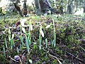 Snowdrops, Crevenagh Road, Omagh - geograph.org.uk - 666427.jpg