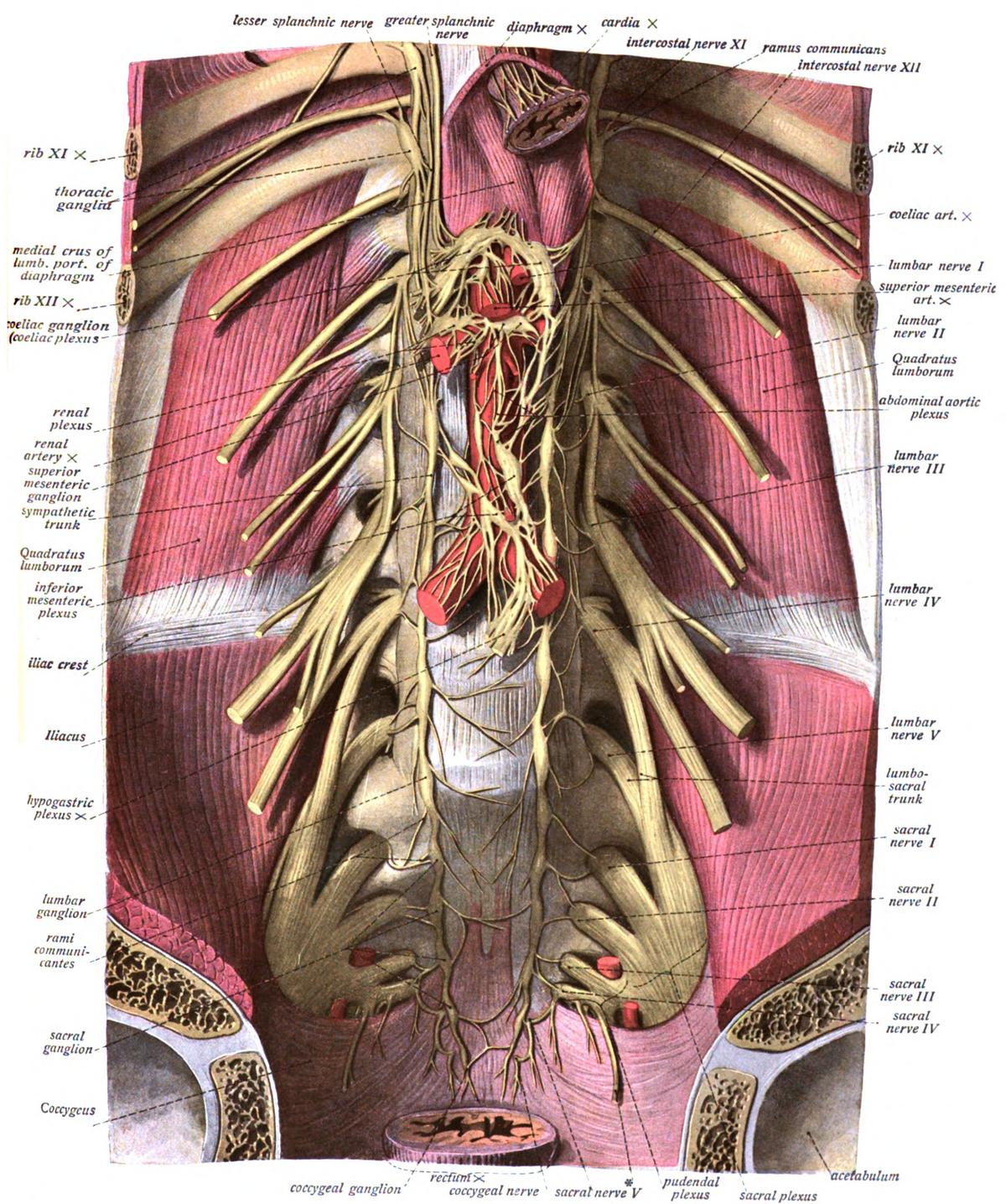 Plexus lumbosacralis – Wikipedia
