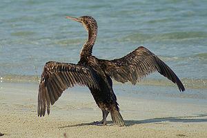Hawar Islands - Socotra cormorant