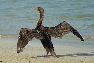 Wildlife of Bahrain - The Socotra cormorant breeds on the Hawar Islands