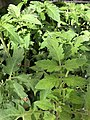 Solanum lycopersicum 4 2018-07-02.jpg