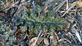 Solanum prinophyllum leaf (14979554865).jpg
