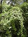 Solanum seaforthianum invasive.jpg