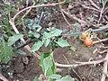 Solanum villosum subsp. alatum sl46.jpg