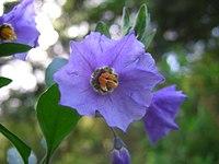 Solanum xanti1DawnEndico