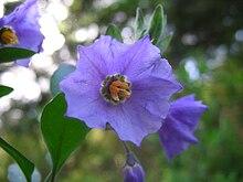 Plants Profile for Solanum xanti (chaparral nightshade)