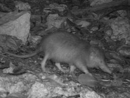 Solenodon jun 09 0061 crop.JPG