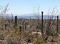 Sonora Desert - Flickr - gailhampshire (2).jpg