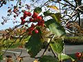 Sorbus intermedia1.jpg