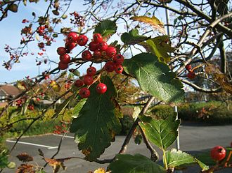 Sorbus × intermedia - Ripe fruit