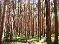 Sosni v parke Kislovodska.JPG