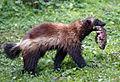 Soti salvaje en Riudellots de la Selva.jpg