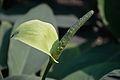 Spathiphyllum - Alipore - Kolkata 2013-02-10 4661.JPG