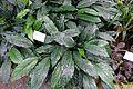 Spathiphyllum wallisii - Botanischer Garten - Heidelberg, Germany - DSC01079.jpg