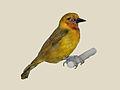 Spectacled Weaver specimen RWD.jpg