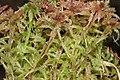 Sphagnum magellanicum (b, 150145-481742) 8444.JPG