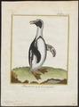 Spheniscus demersus - 1700-1880 - Print - Iconographia Zoologica - Special Collections University of Amsterdam - UBA01 IZ17800203.tif