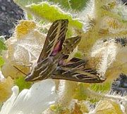 Sphinx Moth on Rock Nettle in Mosaic Canyon
