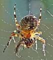 Spider eating insect.jpg