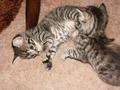Spielende Katzen-Babys.TIF