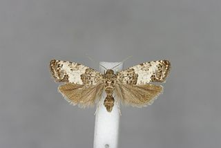 <i>Spilonota</i> Genus of tortrix moths