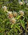 Spiny-headed chaff flower - Flickr - pellaea.jpg