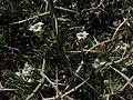 Spiny menodora, Menodora spinescens (15696146197).jpg
