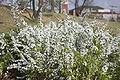 Spiraea prunifolia for. simpliciflora.JPG