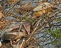 Spot-billed Pelican (Pelecanus philippensis) feeding a juvenile in Garapadu, AP W IMG 5335.jpg