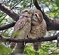 Spotted Owlet (Athene brama)- Pair in Foreplay at Bharatpur I IMG 5479.jpg