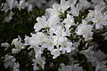 Spring-bloom-white-azalea-flowers - West Virginia - ForestWander.jpg