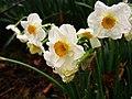 Spring-flowers-daffodils-smell-pretty - West Virginia - ForestWander.jpg