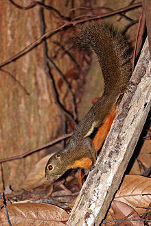 Squirrel--Bukit-Timah.jpg