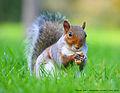 Squirrel in Regent's Park.jpg
