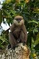 Sri Lanka Purple faced Leaf Monkey.jpg