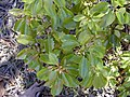 Starr-010515-0115-Cinnamomum camphora-leaves-Makawao-Maui (24164842269).jpg