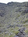 Starr-011114-0072-Sadleria cyatheoides-habitat-Old switchbacks HNP-Maui (24517403876).jpg