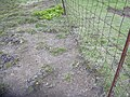 Starr-040514-0119-Cynodon dactylon-after hand weeding-Puhilele HNP-Maui (24608972371).jpg
